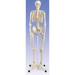 Model osteològic A-10B. Esquelet humà numerat 1:1 amb rodes