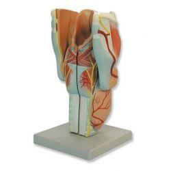 Modelo anatómico 8000150. Laringe humana 3: 1 en 4 piezas