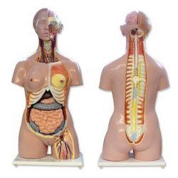 Modelo anatómico 8500010. Torso humano bisexuat 1: 1 en 24