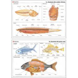 Mural biología VV-1. Cordados y peces
