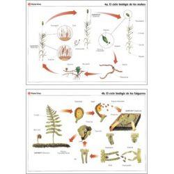 Mural biologia VV-4. Molses i falgueres