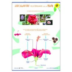 Mural biología. Órganos de la flor y reproducción de las plantas