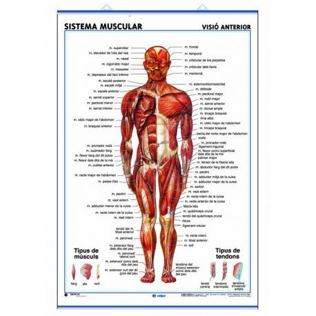 Mural anatomia secundària 70x100 cm. Sistema muscular anterior i