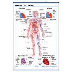 Mural anatomia secundària 70x100cm . L'aparell circulatori i l'aparell respiratori