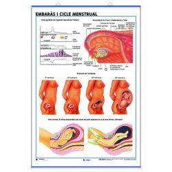 Mural anatomia secundària. Aparell reproductor embaràs i el cicle