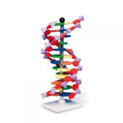 Modelo genético 1005298. ADN 12 segmentos