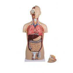 Model anatòmic EZ-B235. Tors humà bisexuat 1:1 en 27 peces