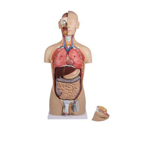Modelo anatómico EZ-B235. Torso humano bisexuat 1:1 en 27 piezas