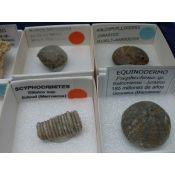 Fósiles naturales 40x40 mm. Caja 15 piezas