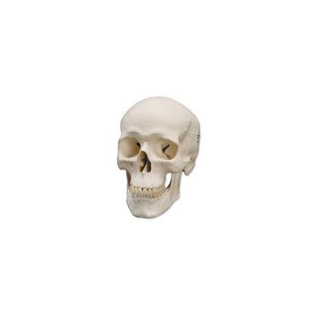 Modelo osteológico 1000046. Cráneo humano básico 1: 1 en 3 piezas
