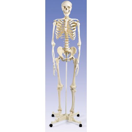 Model osteològic DI-4195. Esquelet humà numerat 1:1 amb suport i rodes