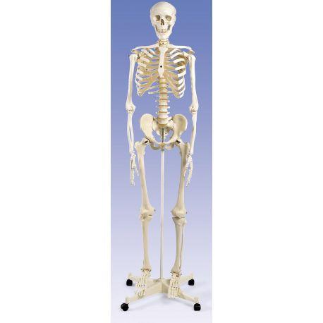 Modelo osteológico DI-4195. Esqueleto humano numerado 1: 1 con soporte y ruedas