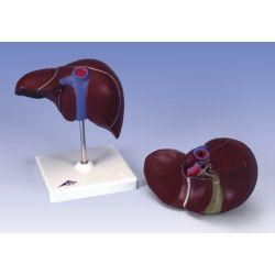 Modelo anatómico 1014209. Hígado humano con vesícula biliar 1: 1 en una pieza
