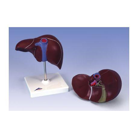 Model anatòmic 1014209. Fetge humà amb vesícula biliar 1:1 en una peça