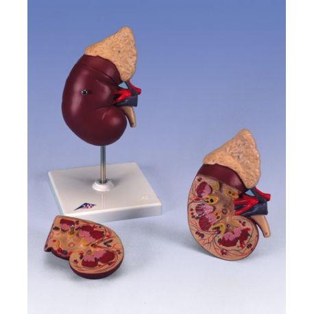 Modelo anatómico 1014211. Riñón humano con glándula adrenal 1: 1 en 2 piezas