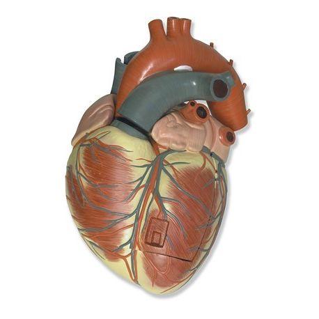 Modelo anatómico QBB-005. Corazón humano 3: 1 en 3 piezas