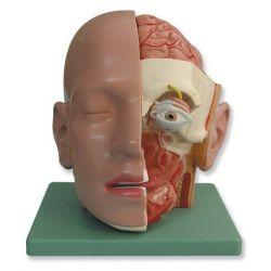 Model anatòmic Z-180. Cap humà 1:1 en 7 peces
