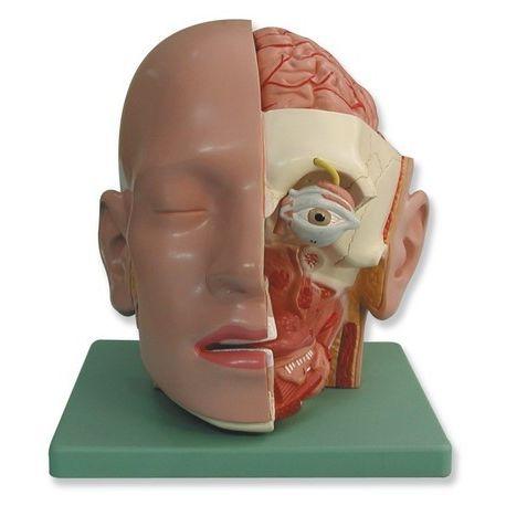 Modelo anatómico QBB-026. Cabeza humana 1: 1 en 4 piezas