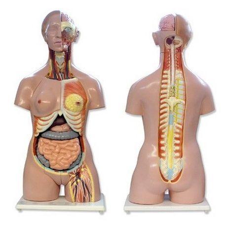 Modelo anatómico QBB-041. Torso humano bisexuat 1: 1 en 24 piezas