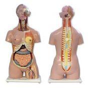 Model anatòmic 8500010. Tors humà bisexuat 1:1 en 24 peces
