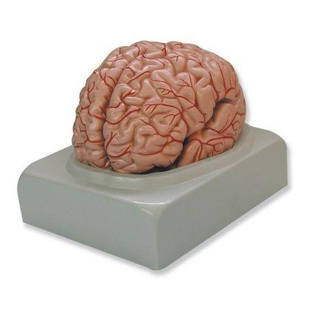 Modelo anatómico QBB-027. Cerebro humano 1: 1 en 9 piezas