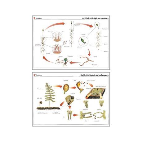 Mural biología VV-4. Musgos y helechos
