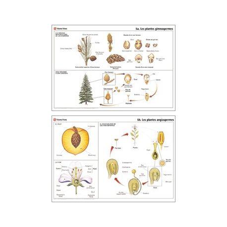 Mural biología VV-5. Gimnospermas y angiospermas
