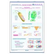 Mural biologia. Cèl·lula animal, cèl·lula vegetal i la