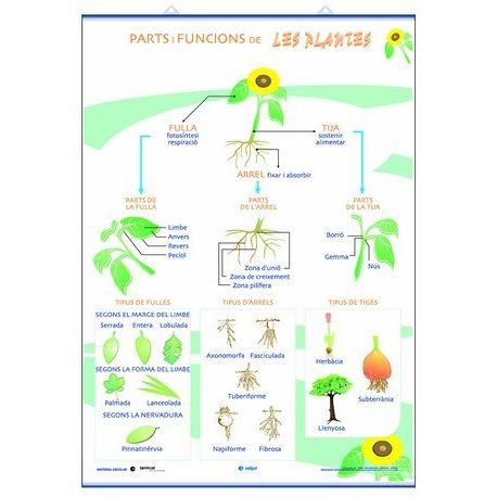 Mural biologia 70x100 cm. Parts, funcions, nutrició, fotosíntesis i respiració de les plantes