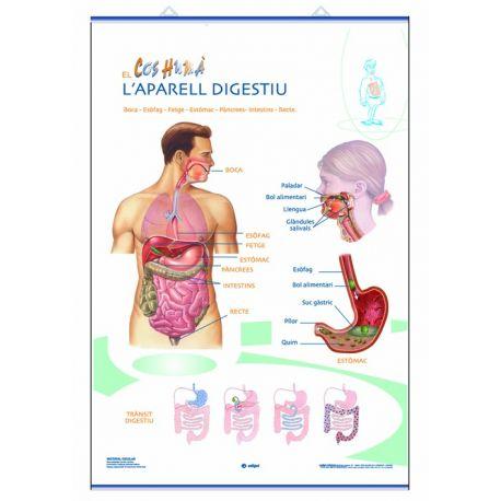 Mural anatomía primaria 70x100 cm. El aparato digestivo y el aparato excretor