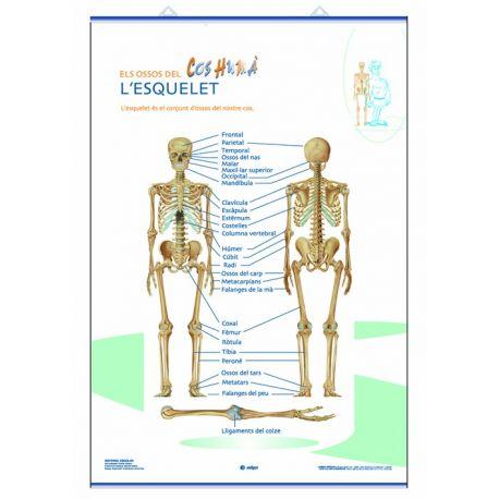 Mural anatomía primaria 70x100cm . El esqueleto y las partes del cuerpo