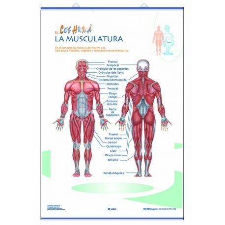 Mural anatomía primaria 70x100 cm. Los sistemas muscular y nervioso