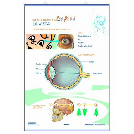 Mural anatomía primaria 70x100cm. Los sentidos de la vista y el oído