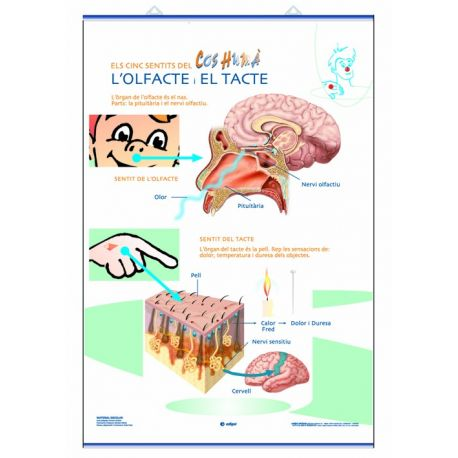 Mural anatomia primària 70x100 cm. Els sentits del tacte, el gust i l'olfacte