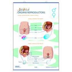 Mural anatomia primària. Els òrgans reproductors i la fecundació