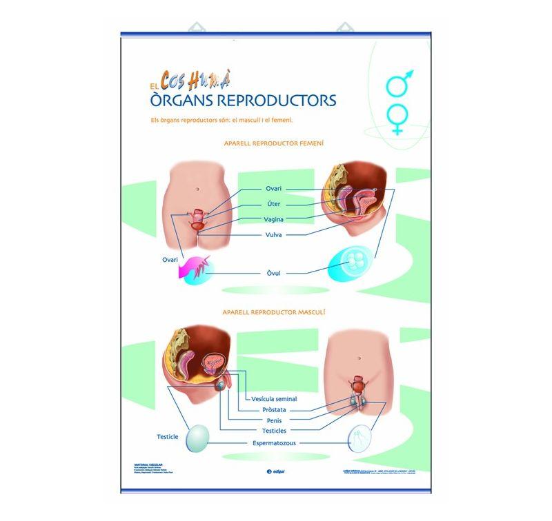 Mural Anatomia Primaria 70x100 Cm Els Organs Reproductors I La