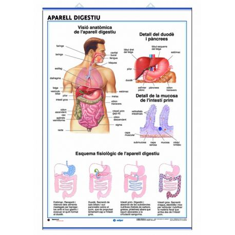 Mural anatomia secundària. Aparells digestiu i excretor
