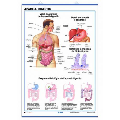 Mural anatomia secundària 70x100 cm. L'aparell digestiu i l'aparell excretor