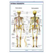 Mural anatomia secundària. Sistema esquelètic i el crani