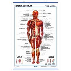 Mural anatomia secundaria 70x100 cm. Sistema muscular