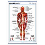 Mural anatomia secundària. Sistema muscular anterior i posterior