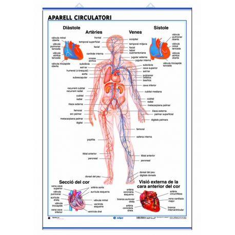 Mural anatomia secundaria 70x100cm . Sistema circulatorio y respiratorio