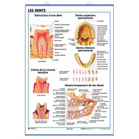 Mural anatomia secundaria 70x100cm . Sentido de la vista y los dientes