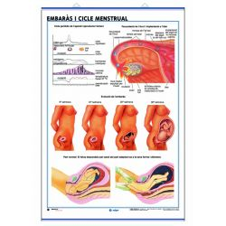 Mural anatomia secundària 70x100 cm. L'aparell reproductor, embaràs, cicle menstrual
