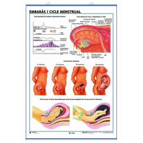 Mural anatomía secundaria 70x100 cm. El aparato reproductor, embarazo, ciclo menstrual